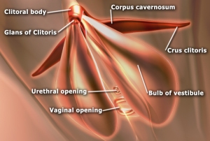 Female Anatomy: Clitoris Frontal View