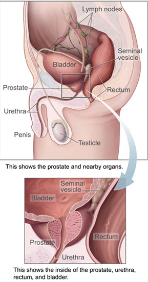 Male Prostate ~ from Wikipedia commons
